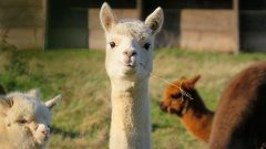 Monzo co-founder steps down to farm alpacas
